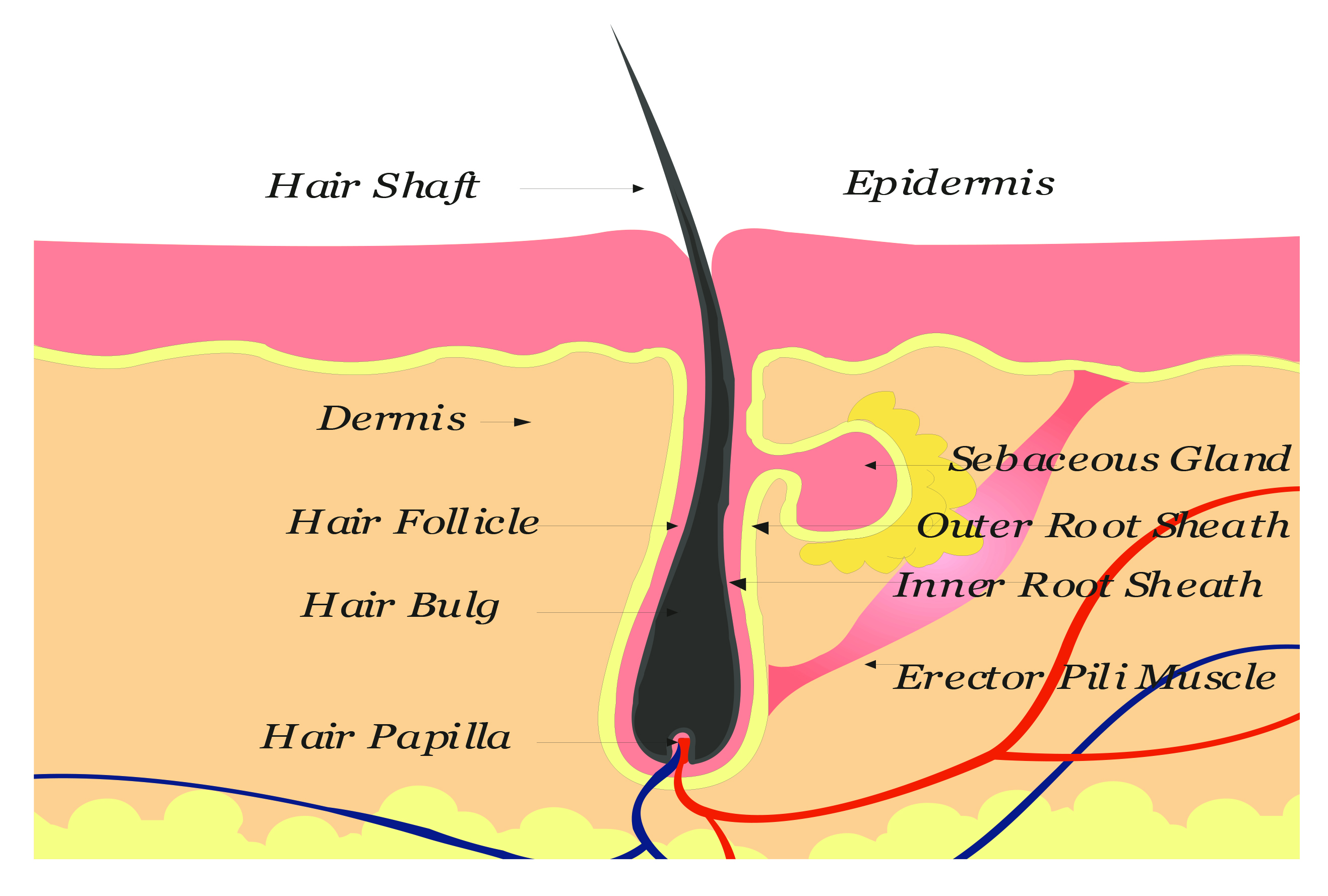 Stem Cell Hair Restoration | Hair Transplant Techniques | Hair Transplant News